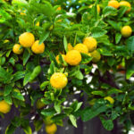 Learn about growing citrus