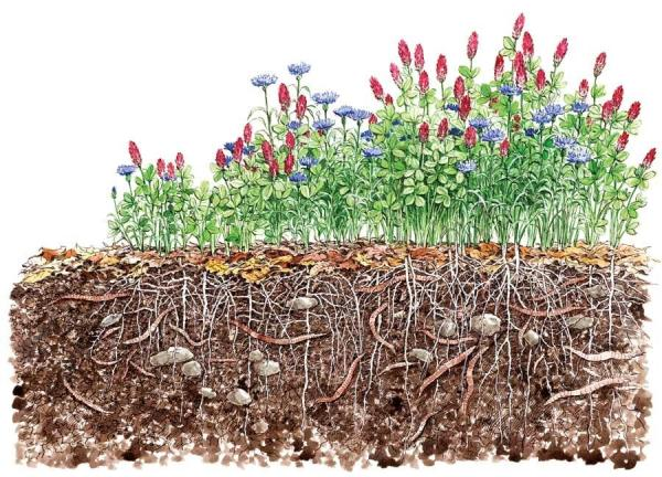 Cover Crops to Prepare Next Summer\'s Garden - Alameda Backyard Growers